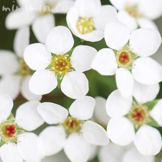 ユキヤナギの花言葉と花の写真の画像