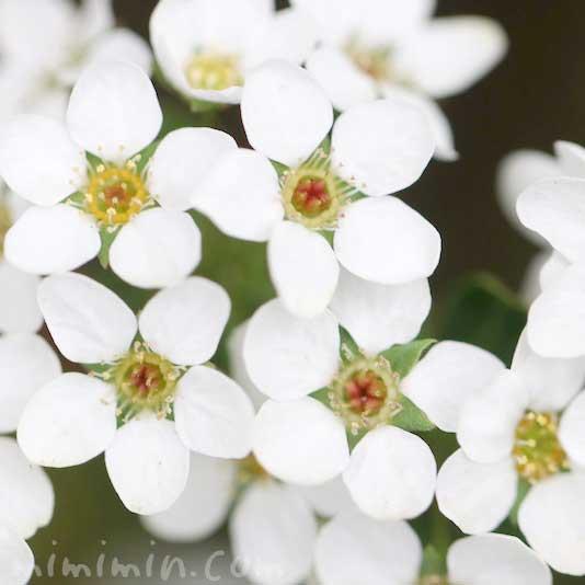 ユキヤナギの花言葉と写真の画像