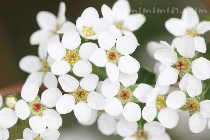 雪柳の花言葉・花の写真の画像