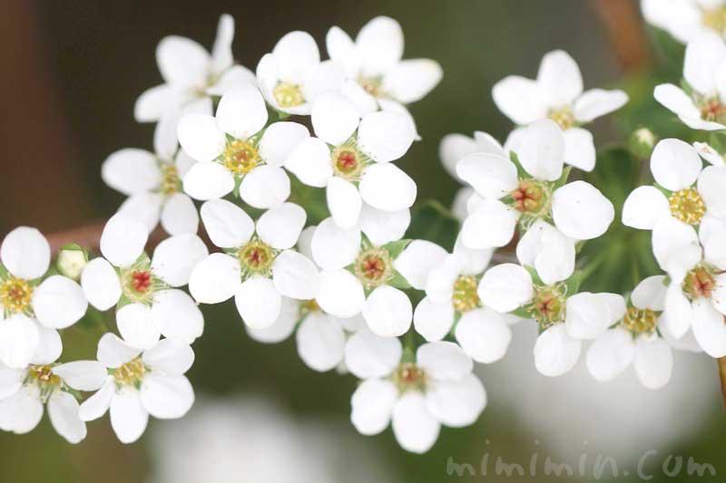 ユキヤナギの花言葉と写真