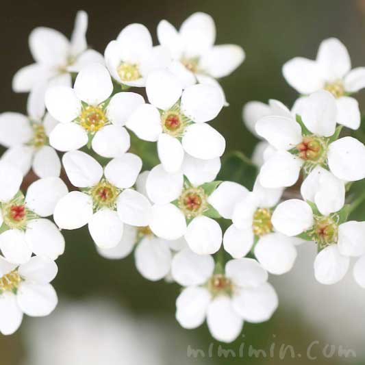 雪柳の花言葉と花の画像