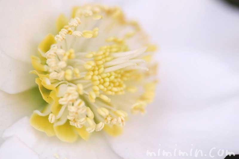 クリスマスローズの花・白の写真