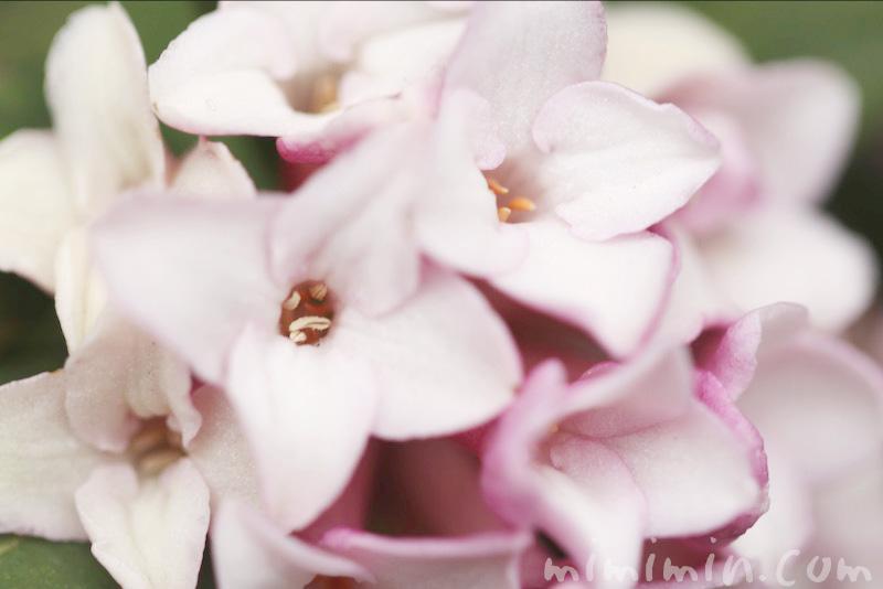 ジンチョウゲの花の写真・花言葉の画像