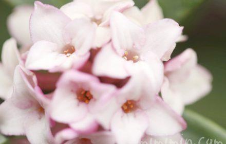 ジンチョウゲの花の写真と花言葉