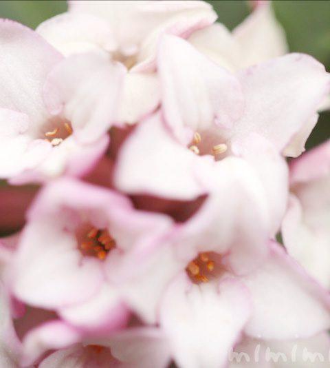 ジンチョウゲ(沈丁花)の花の写真・花言葉