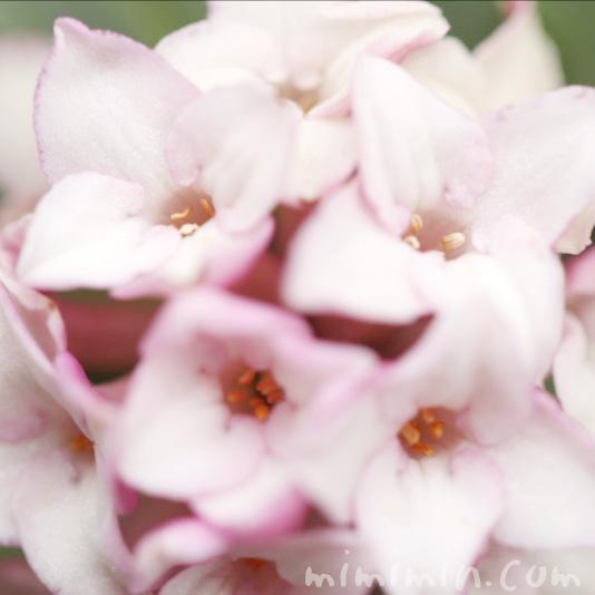沈丁花の花の写真 花言葉の画像