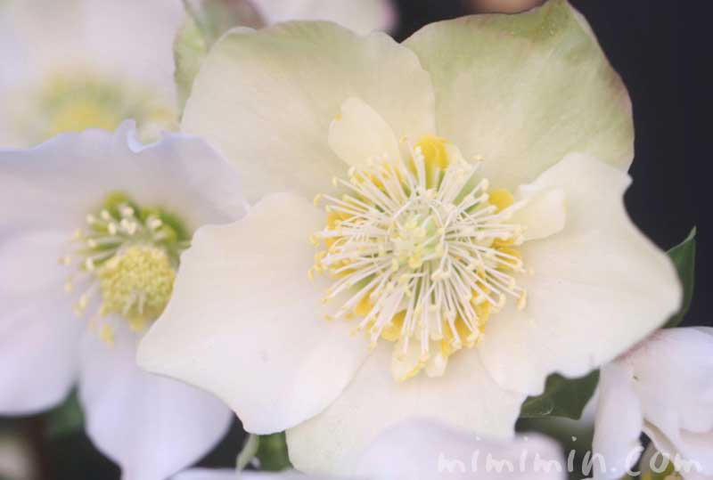クリスマスローズの花・白