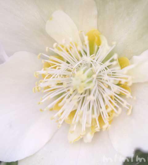 クリスマスローズの花の写真・花言葉・名前の由来