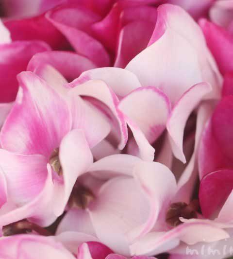シクラメンの花の写真・花言葉・名前の由来