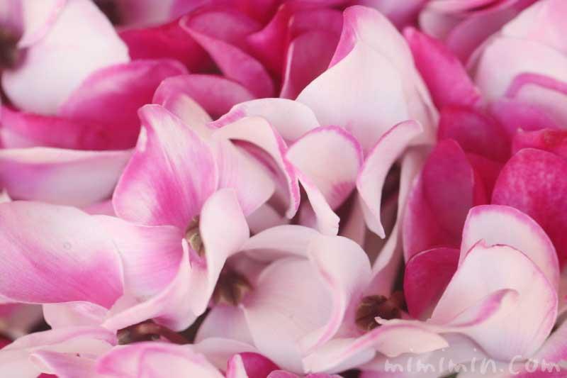 シクラメンの花(ピンク×白)の画像