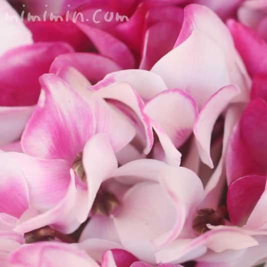 シクラメン(ピンク×白)の画像