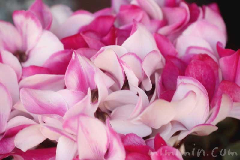 シクラメンの花(ピンク×白)