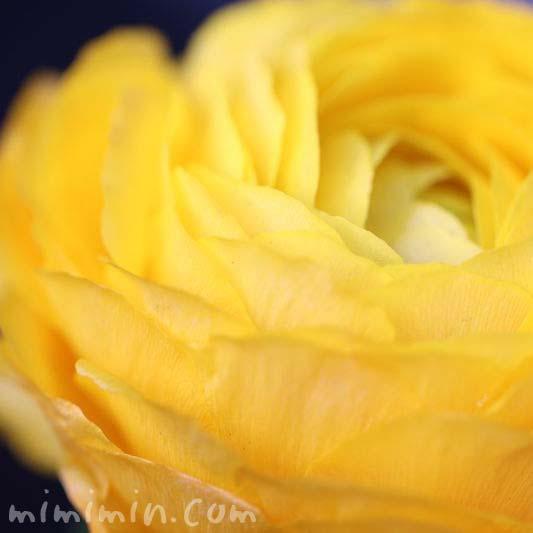ラナンキュラス・黄色の画像
