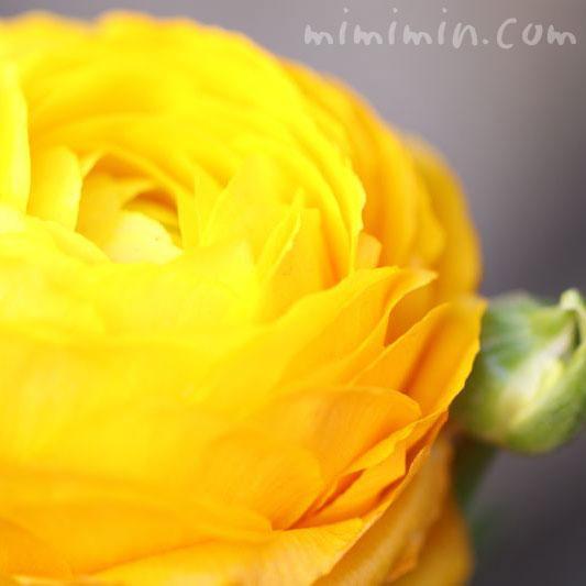 ラナンキュラスの花・黄色の写真