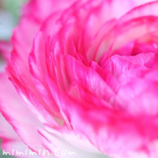 ラナンキュラス・春のピンク色の花の画像