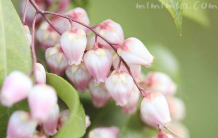 アセビの花の写真と花言葉
