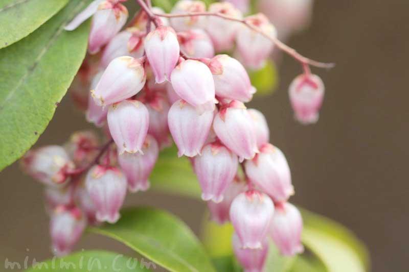 アセビの花の写真 花言葉の画像