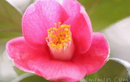ツバキの花(濃いピンク)の画像