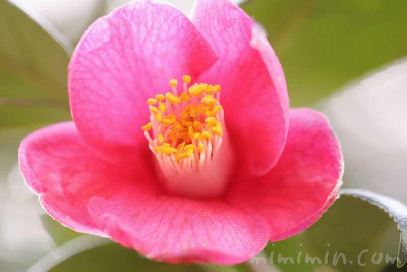 ツバキの花(濃いピンク)