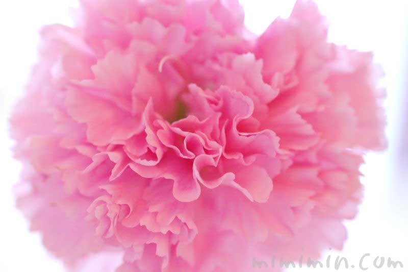 カーネーションの花言葉・誕生花の画像