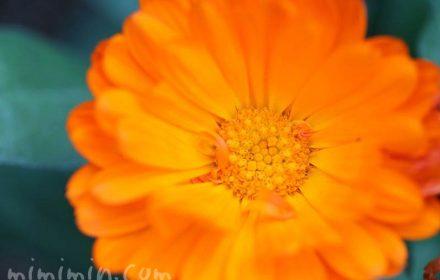 キンセンカの花 オレンジ色の画像