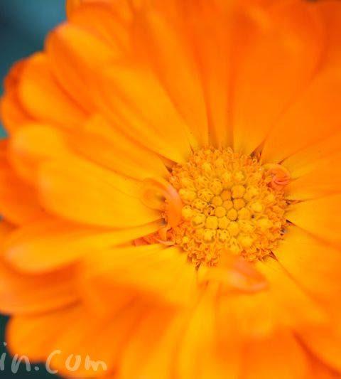 キンセンカ(金盞花)の花の写真・花言葉・名前の由来