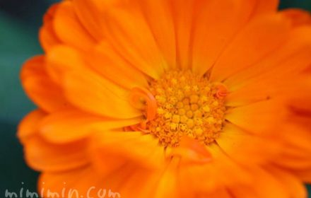 キンセンカ オレンジ色の写真