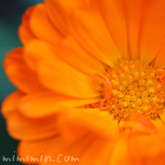 金盞花の花の写真