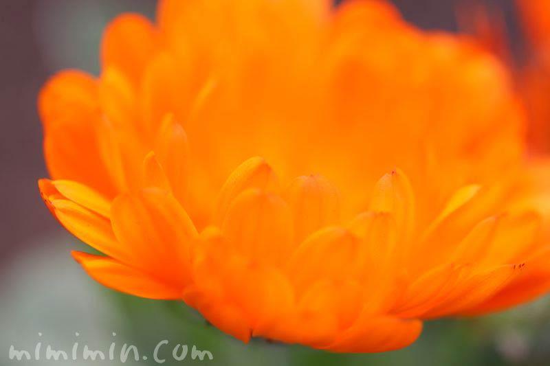 キンセンカの花の写真