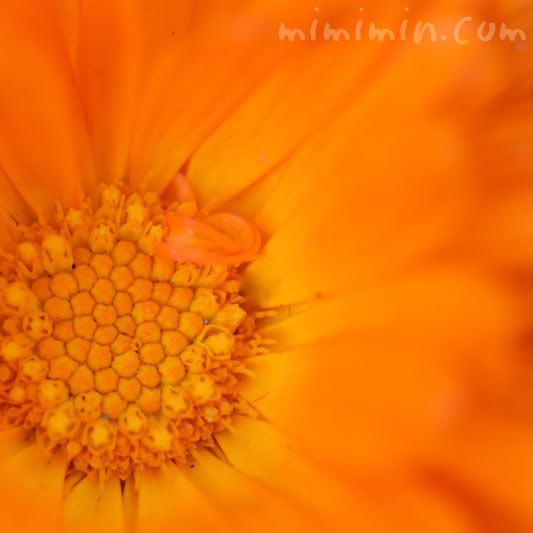 金盞花の写真