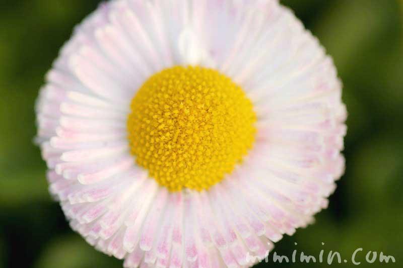 ひなぎくの花の写真の画像