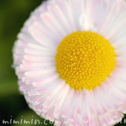 デージー・花言葉の写真
