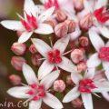カネノナルキ(金のなる木・花月)の花の写真