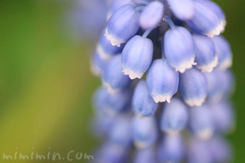 青いムスカリの写真・ムスカリの誕生花の画像