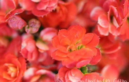紅弁慶の花の写真