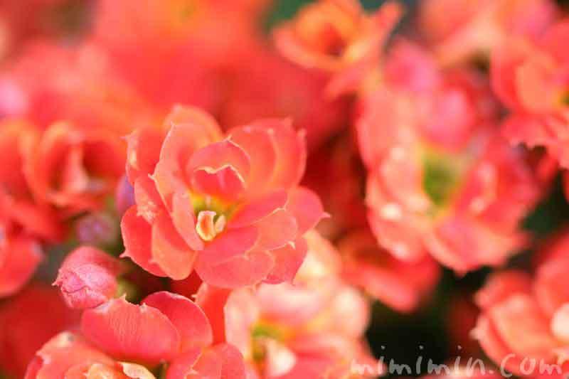紅弁慶の写真