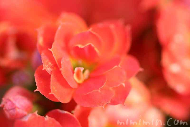 カランコエの花の写真