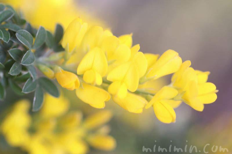 黄色のエニシダの写真