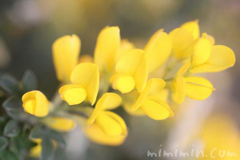 エニシダ・黄色の写真