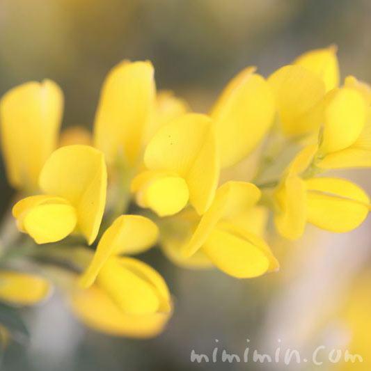 エニシダの花の写真