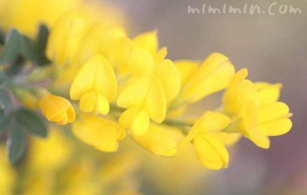 エニシダの花・黄色の画像