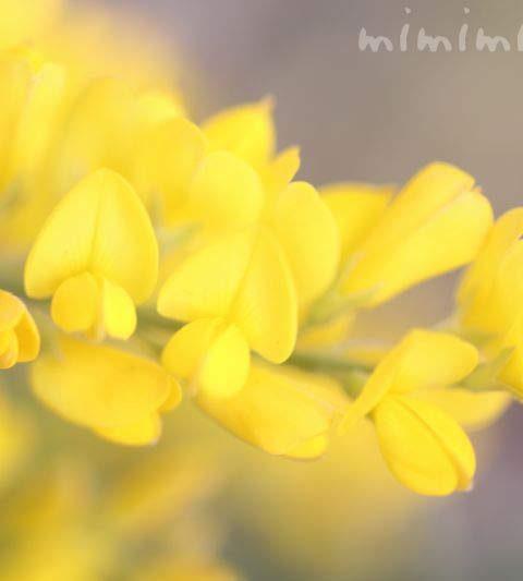 エニシダの花の写真・花言葉・名前の由来