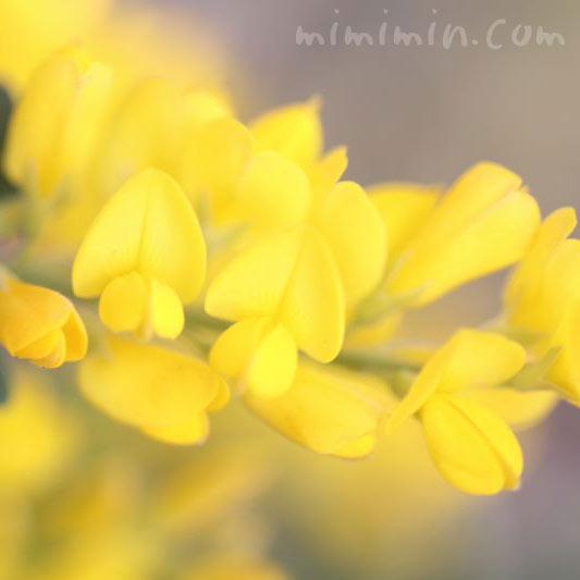 黄色のエニシダの花の画像