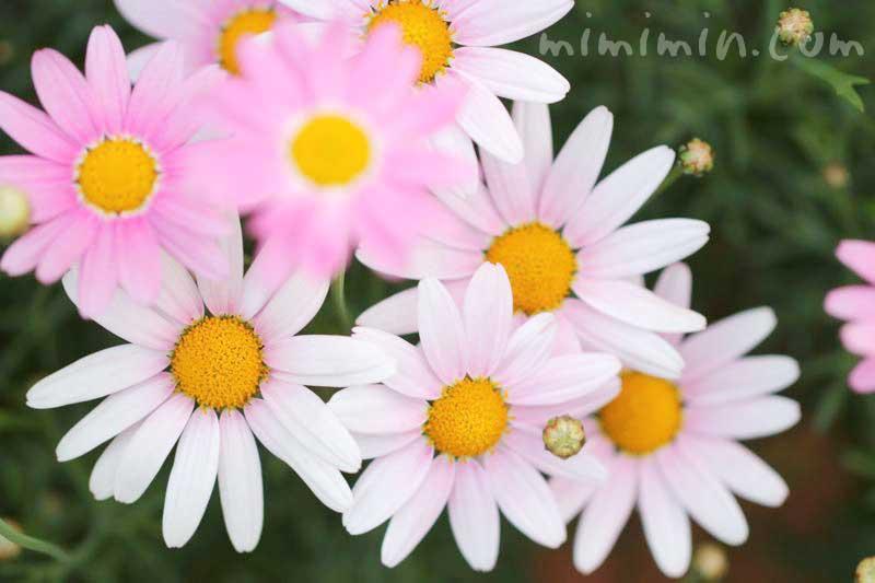 マーガレットの誕生花