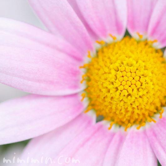 ピンクのマーガレットの花言葉の画像