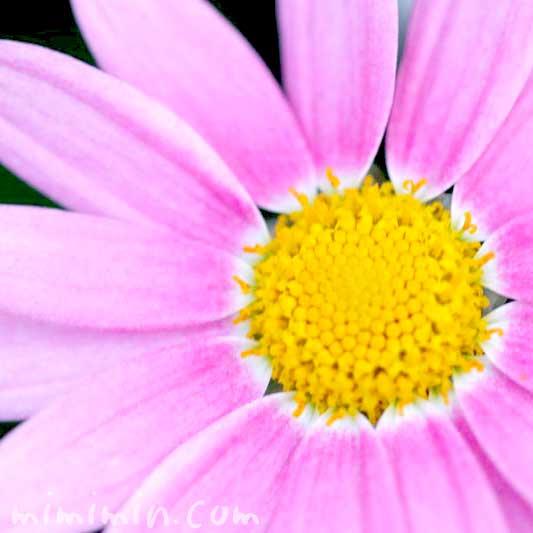 マーガレットの誕生花の写真