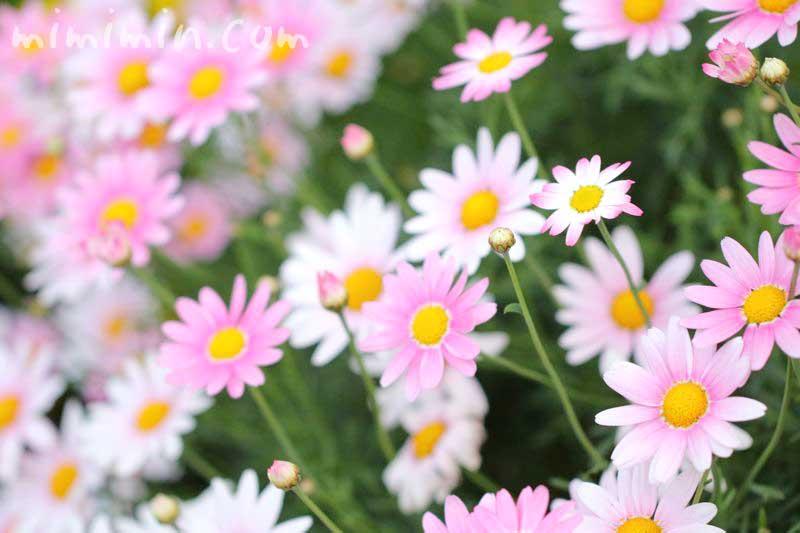 マーガレット・花言葉の写真
