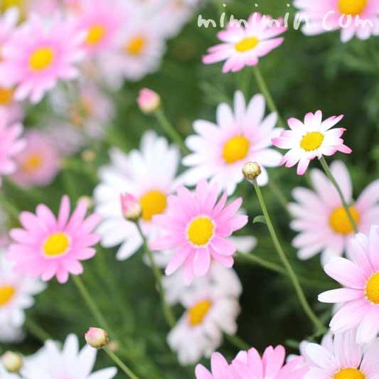 ピンクのマーガレットの花言葉