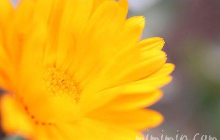 金盞花の花