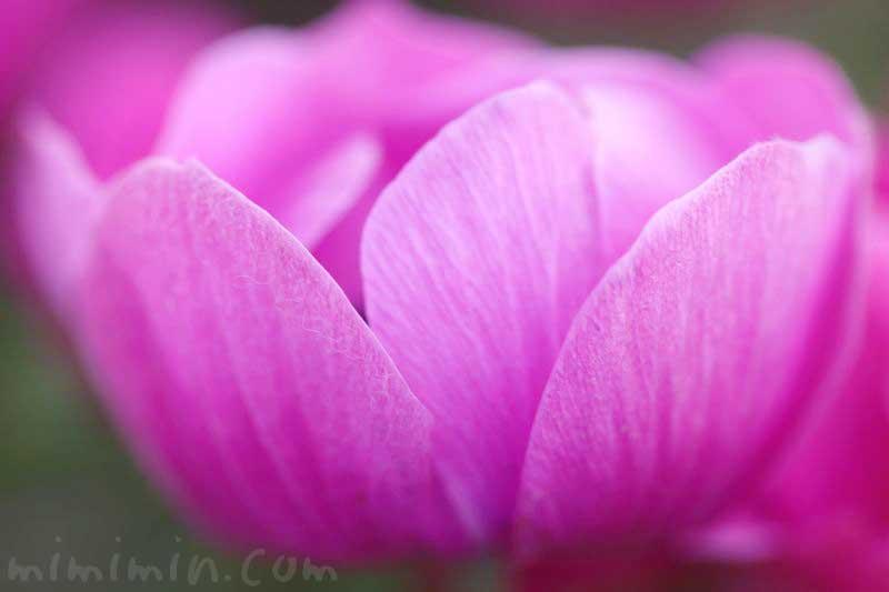 アネモネの花の写真と花言葉と誕生花の画像